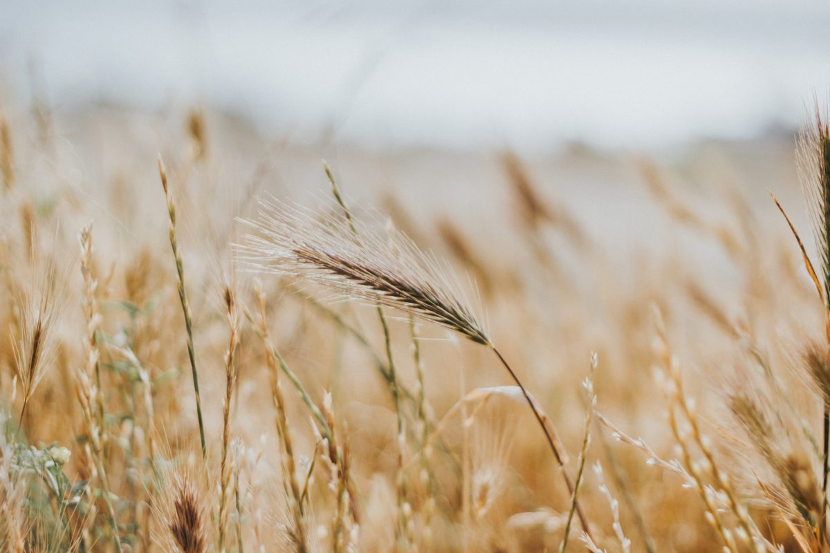 Selective focus photo of wheat fields